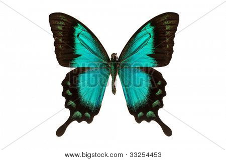 Papilio ulysses (blue swallowtail) butterfly on white