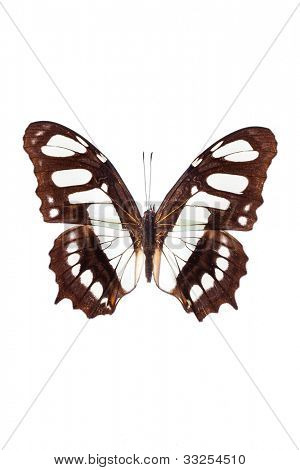 Monarch butterfly (Danaus plexippus) isolated on white