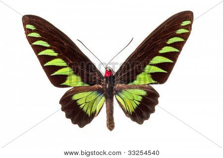 The Rajah Brooke's Birdwing butterfly on white