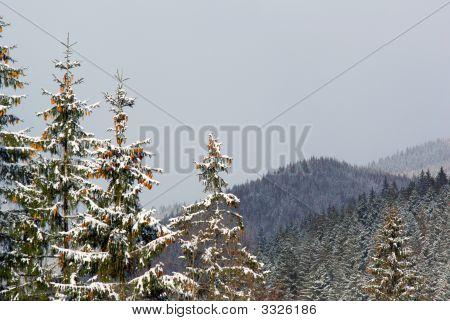 Cones On Fir Tree