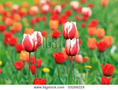 Red And White Tulips With Tulip Background