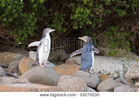 Juvenile NZ Yellow-eyed Penguins or Hoiho on shore
