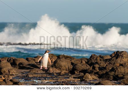 Adult NZ Yellow-eyed Penguin or Hoiho on shore