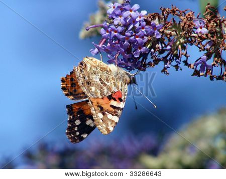 Red Admiral butterfly on privet plant