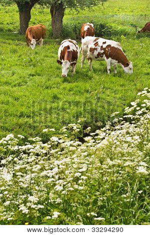Pollard-willows, Cow Parsley And Grazing Cows