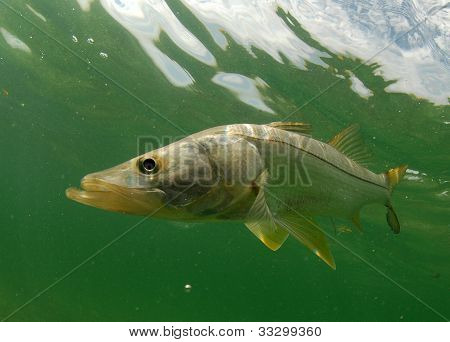 Snook Fish Underwater