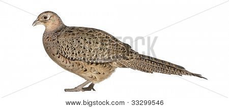 Female Golden Pheasant or 'Chinese Pheasant', Chrysolophus pictus, standing in front of white background