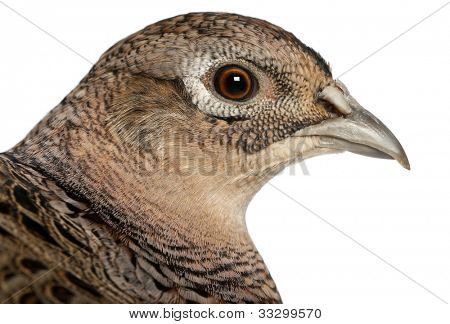Portrait of Female Golden Pheasant or 'Chinese Pheasant', Chrysolophus pictus, in front of white background