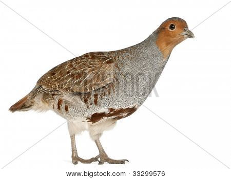 Portrait of Grey Partridge, Perdix perdix, also known as the English Partridge, Hungarian Partridge, or Hun, a game bird in the pheasant family, standing in front of white background