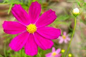 Garden Cosmos Or Mexican Aster (cosmos Bipinnatus) Purple Flower With Natural Background poster