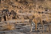 Wild Bengal Tigress Or Panthera Tigris On Evening Stroll For Territory Marking Head On And Tail Up L poster