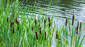 Fresh Cattail In The Pond, Backdrop Nature. Green Bulrush Leaves, Ripe Brown Ear Of Cattail In The L poster