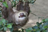Two Toed Sloth Hanging In Tree