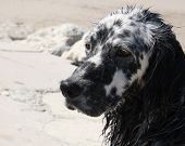stock photo of english setter  - head of an English Setter after a swim in the sea - JPG