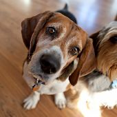 pic of droopy  - Cute beagle dog sitting down next to another dog and looking at the viewer - JPG