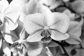 Orchid. Tender Lilac And White Orchid Flower. Purple Orchid Background. Spring And Summer Flowers. G poster