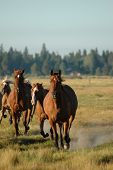 picture of running horse  - horses coming in from pasture - JPG