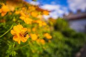 Yellow Cosmos Flowers Or Sulfur Cosmos A Bee Swarming Flowers In The Park In The Middle Of The Fores poster