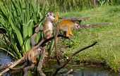 Common Squirrel Monkey