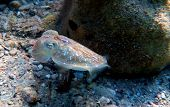 Mediterranean Sea Common Cuttle Fish Isolated Scene poster