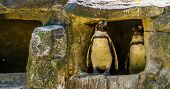 Two African Penguins Standing Together In Their Cave, Flightless Birds From Africa, Endangered Anima poster