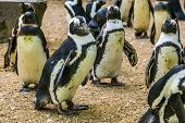 Black Footed Penguin Walking With Its Family, Flightless Birds From Africa, Endangered Animal Specie poster