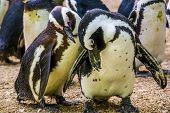 African Penguin Couple Together, Flightless Birds From Africa, Endangered Animal Specie poster