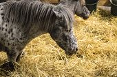 Small Gray Pony Eating Hay, Two Ponies In Stables With The Yellow Hay, Miniature Horses - Image poster