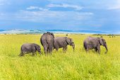 Herd of elephants of the savannah are the largest animals on earth. The famous Masai Mara Reserve in poster