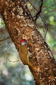 Golden-tailed Woodpecker - Campethera Abingoni Species Of Bird In The Family Picidae, Red Head Bird poster