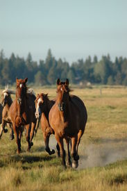 stock photo of running horse  - horses coming in from pasture - JPG