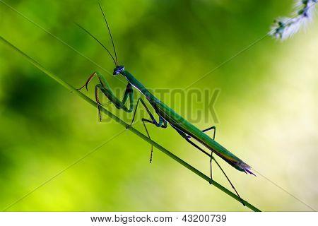 Praying Mantis Mantodea On  Green
