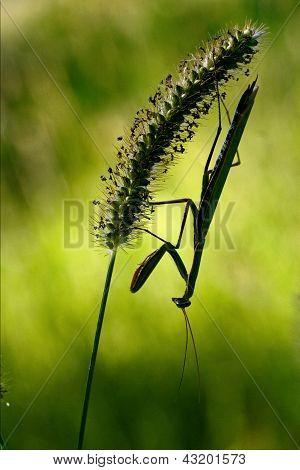 Shadow  Side Of Praying Mantis
