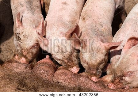 Piglets in silent