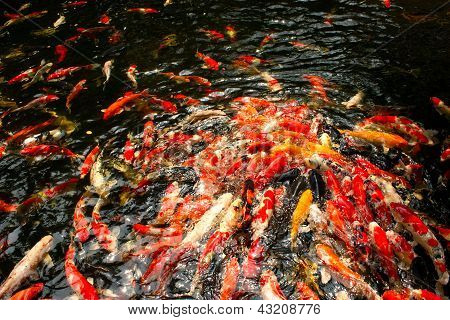 Koi fish in pond at the garden
