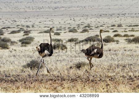 Avestruzes correndo