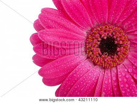 Close-up de Margarida de Gerber brilhante rosa com orvalho, isolado no branco.