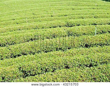 Teeplantage auf Mae Salong Hügel, Chiang Rai, Thailand