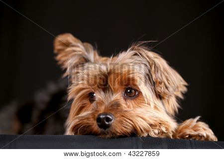 Cute little yorkshire terrier black background