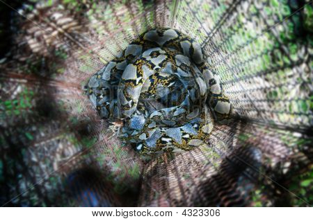 Python Captured