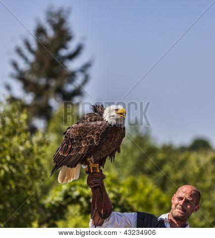 Bald Eagle And Male Bird Tamer