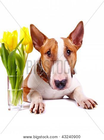 Portrait Of A Bull Terrier With Yellow Tulips.