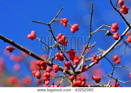 Spindle Tree