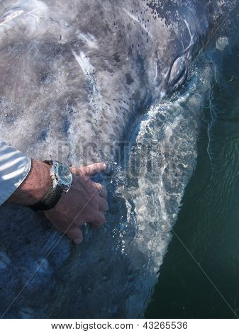 Petting a baby gray whale