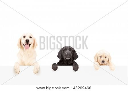 Three dogs posing behind a blank panel, isolated on white background