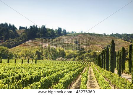 Vineyard's Hills In California