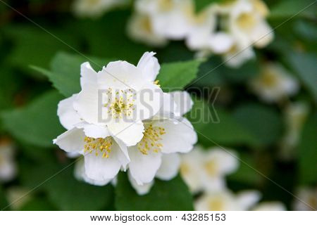 Blossom Jasmine Flowers On Bunch