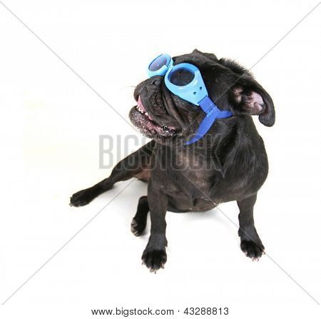 a cute black pug sitting down
