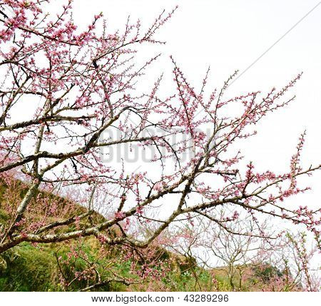 Peach blossom flower isolated on sky background