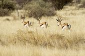 stock photo of steppes  - herd of springbok in the steppe of Namibia - JPG